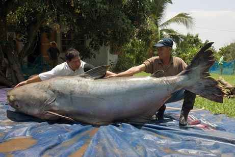 The Largest Catfish Ever Caught